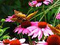 Butterflies-Flower ForestWander.jpg