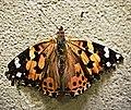 Butterfly (31086795216).jpg