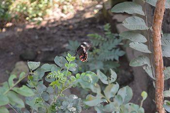 Butterfly black.jpg