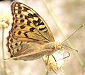 Butterfly in Shcholkine.jpg
