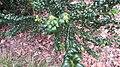 Buxux sempervirens 'Handsworthiensis', Castle Howard.jpg