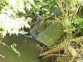 Bylanka (Šembera tributary), přítok kanalizace nad Bylany (obec Chrášťany).JPG