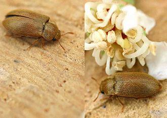 Raspberry beetle - Image: Byturus tomentosus 01