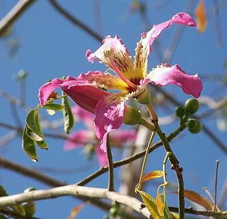 Ceiba speciosa - Image: C. speciosa 5