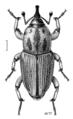 COLE Curculionidae Sphenophorus brunnipennis.png