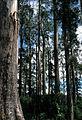 CSIRO ScienceImage 89 Mountain Ash Eucalyptus regnans Magdena Tasmania.jpg