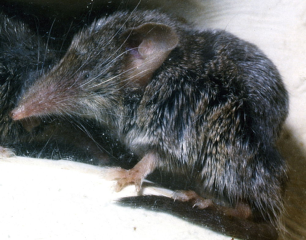 The average adult weight of a Canarian shrew is 7 grams (0.02 lbs)