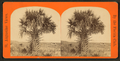 Cabbage palmetto, from Robert N. Dennis collection of stereoscopic views 2.png