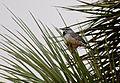 Cactus wren (Campylorhynchus brunneicapillus).jpg
