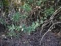 Cadaba fruticosa (11543867186).jpg