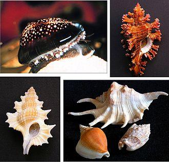 Caenogastropoda - Image: Caenogastropoda various examples 1