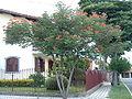 Caesalpinia pulcherrima1.jpg