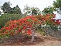 Caesalpinia pulcherrima Tree 1.jpg
