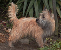 Cairn-Terrier-2008.PNG