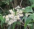 Calea integrifolia (24538008669).jpg