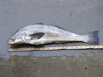California corbina - Image: California corbina