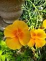 California poppy flower (4).jpg