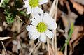 Callianthemum anemonoides6.JPG