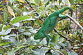 Calumma parsonii, Peyrieras reptile reserve 05.JPG