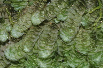 Incubous - The leaves of Calypogeia are incubous.