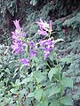 Campanula latifolia2.jpg