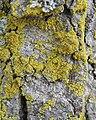 Candleflame Lichen (Candelaria concolor) - Kitchener, Ontario.jpg