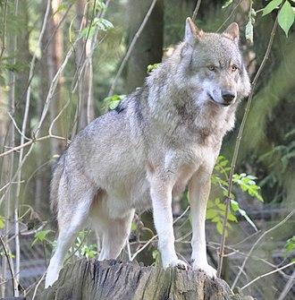 National symbols of Serbia - Image: Canis lupus lupus qtl 1
