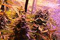 Cannabis DSC 0369 (26040034714).jpg