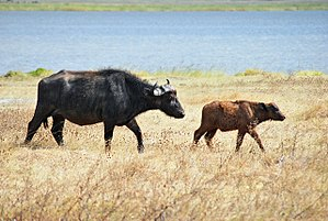 English: Cape Buffalo and calf, Ngorongoro Con...