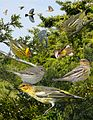 Cape may warbler From The Crossley ID Guide Eastern Birds.jpg