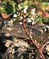Capsella bursa-pastoris ENBLA03.jpg