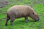 Capybara at SF Zoo.jpg
