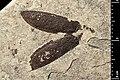 Carabus neli holotype MNHN.F.A40895 direct lighting.jpg