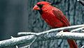 Cardinal (176928135).jpg