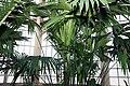 Carludovica palmata 9zz.jpg