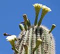 Carnegiea gigantea (Saguaro Cactus) - gailhampshire (1).jpg