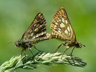 Chequered skipper - Image: Carterocephalus palaemon mating (HS)