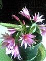 Caryophyllales - Hatiora × graeseri 5 - 2011.06.16.jpg