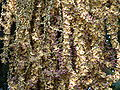 Caryota Urens Flora.JPG