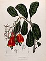 Cashew nut or acajou (Anacardium occidentale L.); flowering Wellcome V0042681.jpg