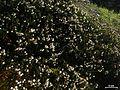Cassiope mertensiana - Flickr - pellaea (1).jpg