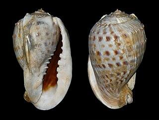 <i>Cassis tessellata</i> Species of gastropod