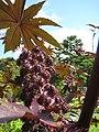 Castor plant -1928871144.jpg
