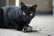 Svart katt som fångat en sparv