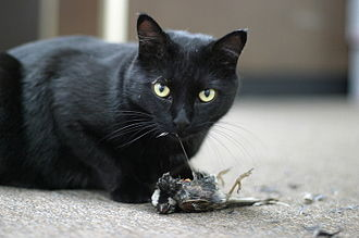 Environment of California - Cat eating a house sparrow.