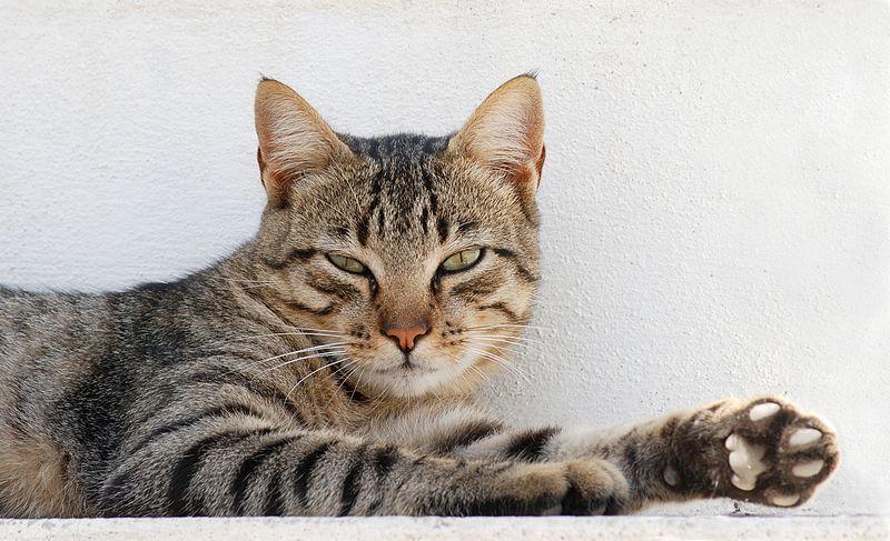 File:Cat August 2010-3.jpg