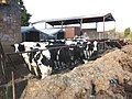 Cattle, feeding on silage, at East Ridge Farm - geograph.org.uk - 1626473.jpg