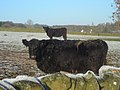 Cattle Near Barnsoul - geograph.org.uk - 638641.jpg