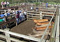 Cattle sale 1 (cropped).JPG
