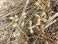 Caucalis platycarpos subsp. platycarpos sl11.jpg